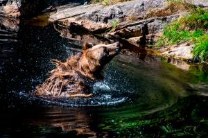 Høyeste antall brunbjørner i Norge på ti år